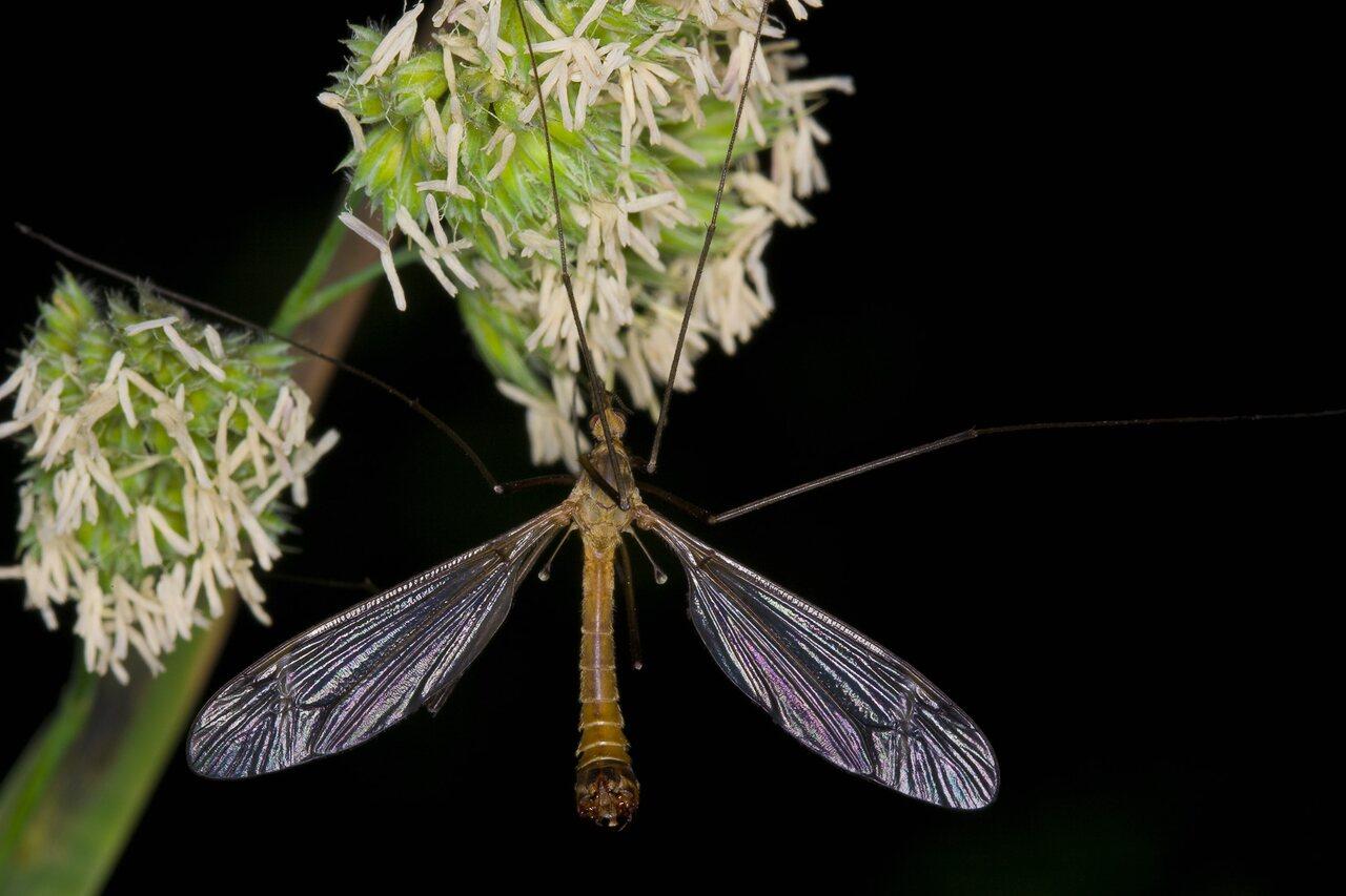Tipulidae-3589.jpg