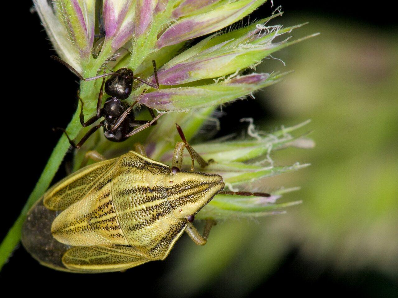 Aelia-acuminata-3593.jpg