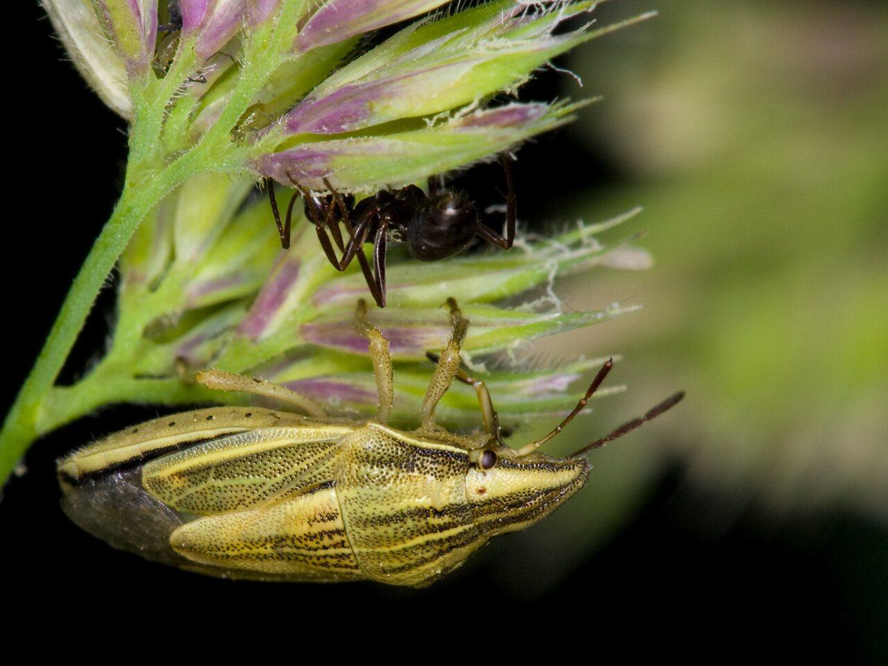 Aelia-acuminata-3594.jpg