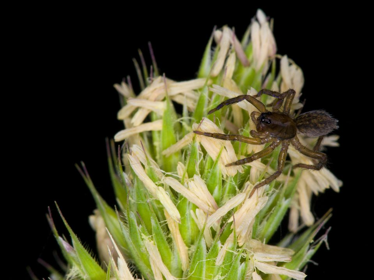 Lycosidae-3595.jpg