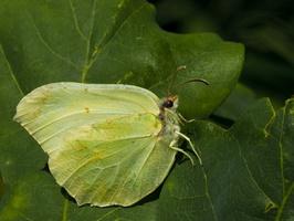 Gonepteryx rhamni · citrinukas