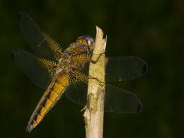 Libellula fulva, female · rusvoji skėtė ♀