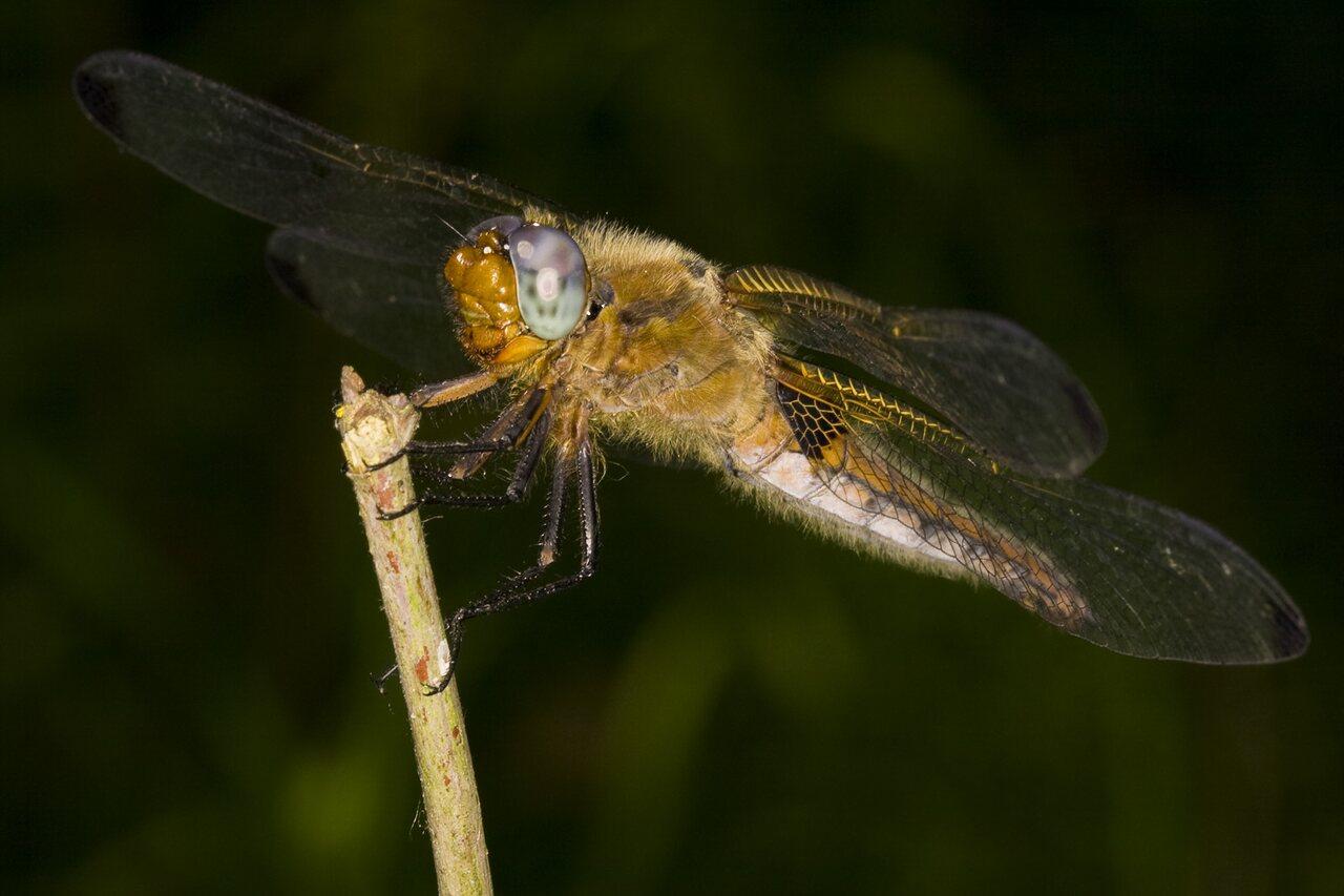 Libellula-fulva-3617.jpg