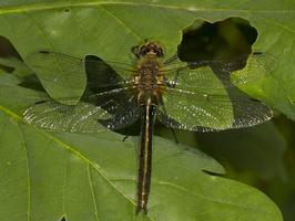 Corduliidae · blizgiosios skėtės