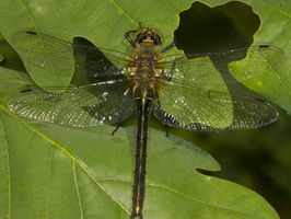 Cordulia aenea · bronzinė skėtė
