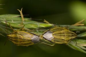 Aelia acuminata · smailiagalvė skydblakė