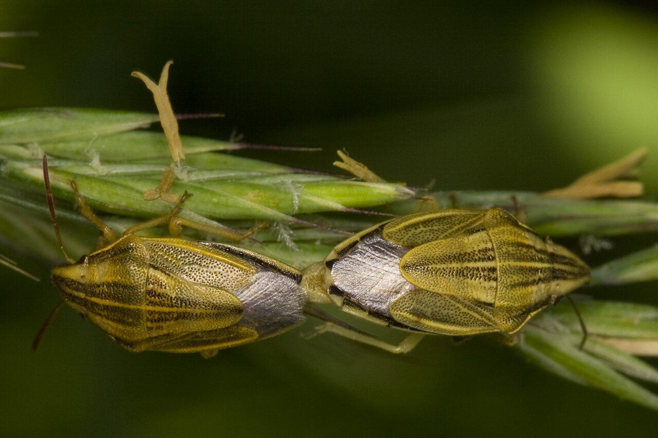 Aelia-acuminata-3625.jpg