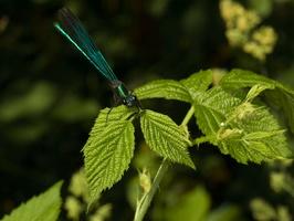 Calopteryx splendens ? male · blizgančioji gražutė ♂