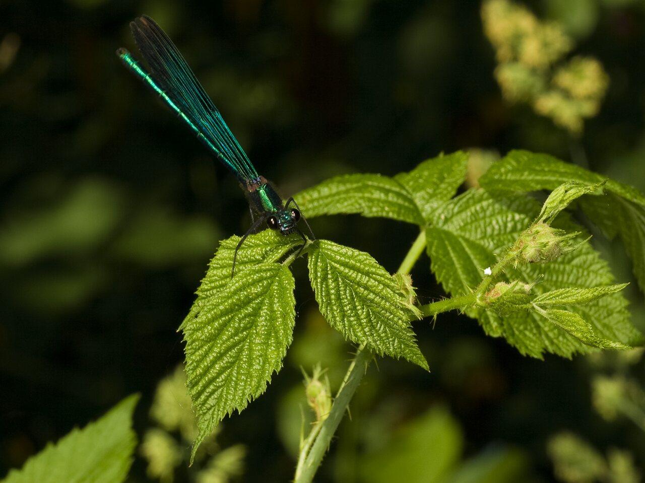 Calopteryx-splendens-3626.jpg