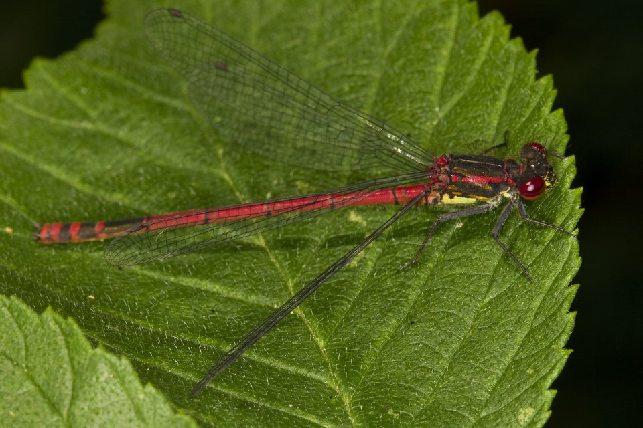 Pyrrhosoma-nymphula-3628.jpg