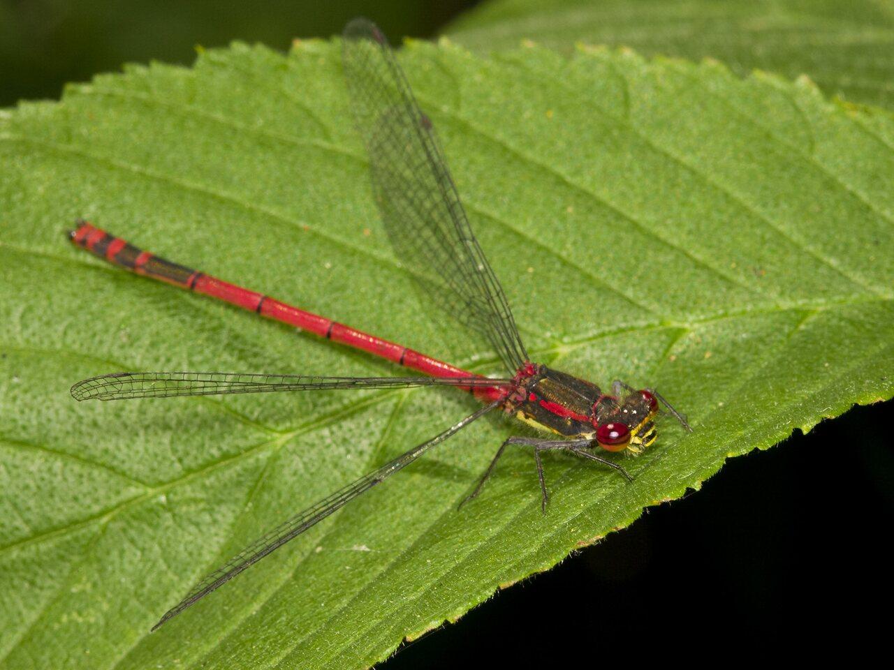Pyrrhosoma-nymphula-3635.jpg
