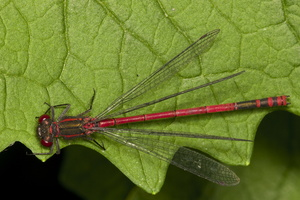 Pyrrhosoma nymphula male · kruvinoji strėliukė ♂