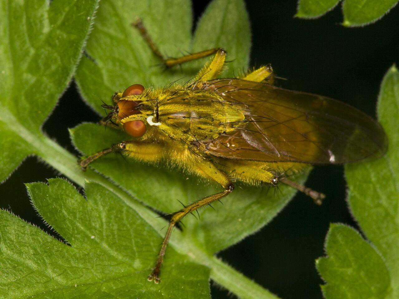 Scathophaga-stercoraria-3643.jpg