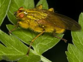 Scathophaga stercoraria · mėšlamusė
