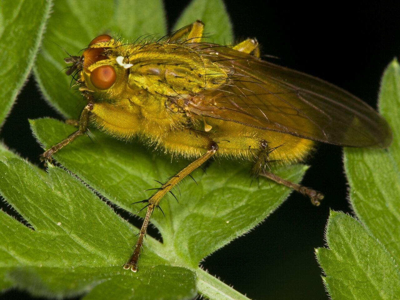 Scathophaga-stercoraria-3644.jpg