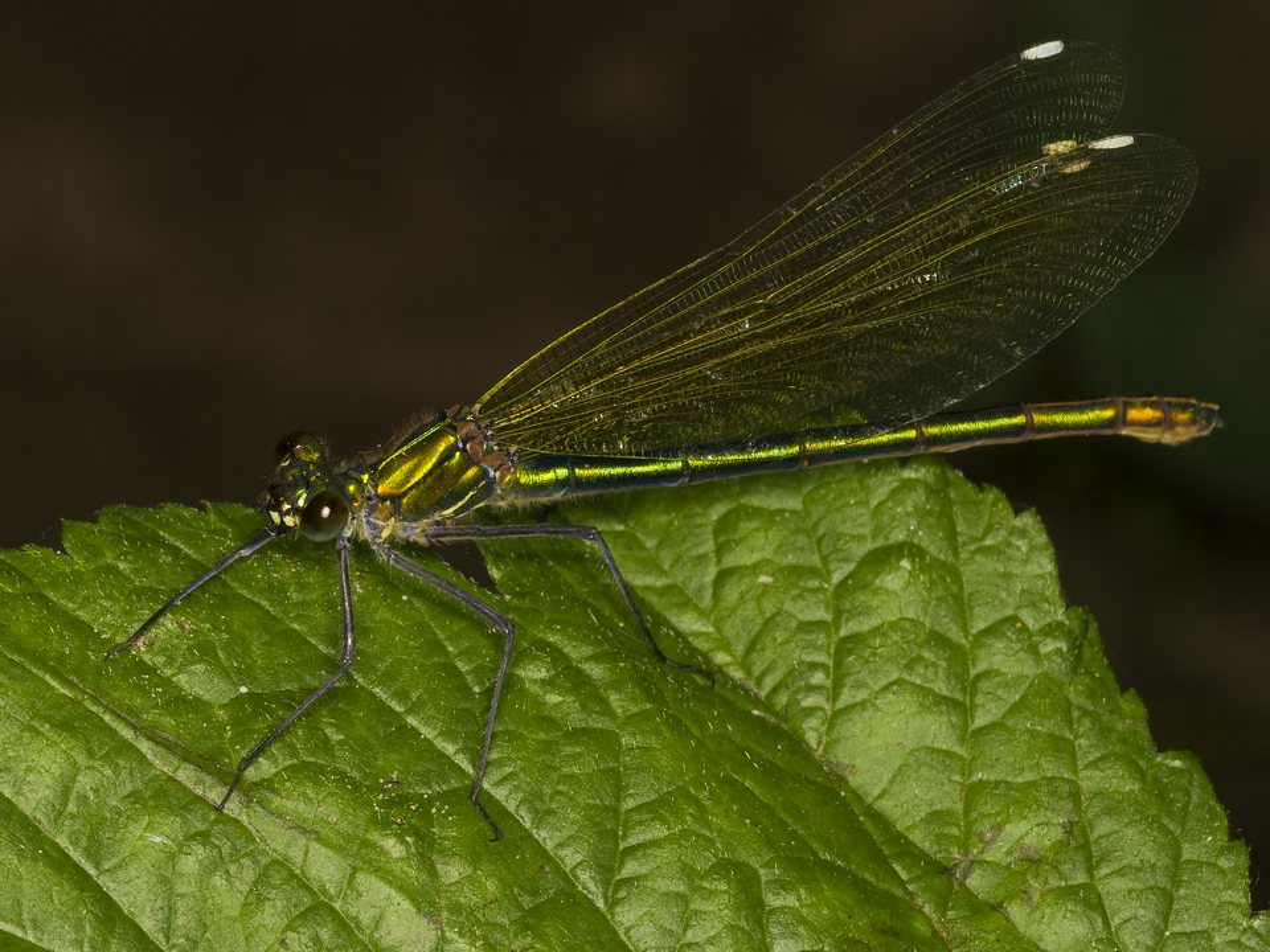 Calopteryx-splendens-3650.jpg