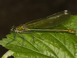 Calopteryx splendens female · blizgančioji gražutė ♀