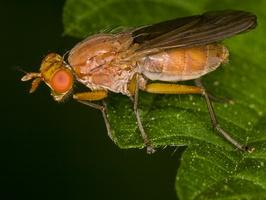 Diptera · musė