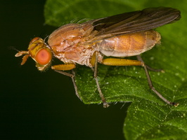 Scathophagidae · mėšlamusė