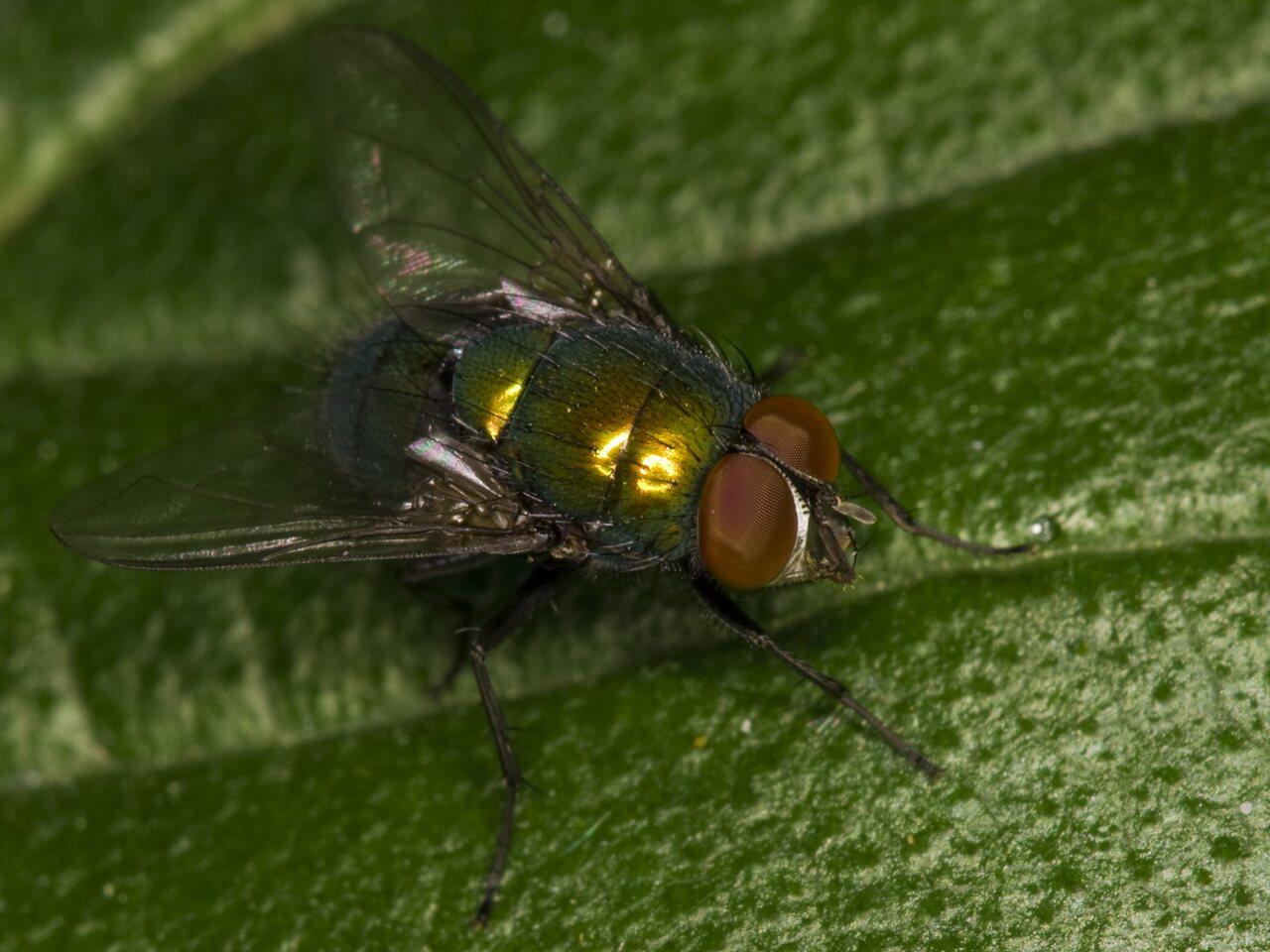 Diptera-3668.jpg
