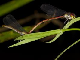 Pyrrhosoma nymphula mating · kruvinoji strėliukė poruojasi