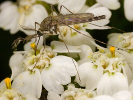 Diptera 3712