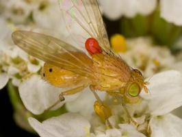 Lauxaniidae · girinukė