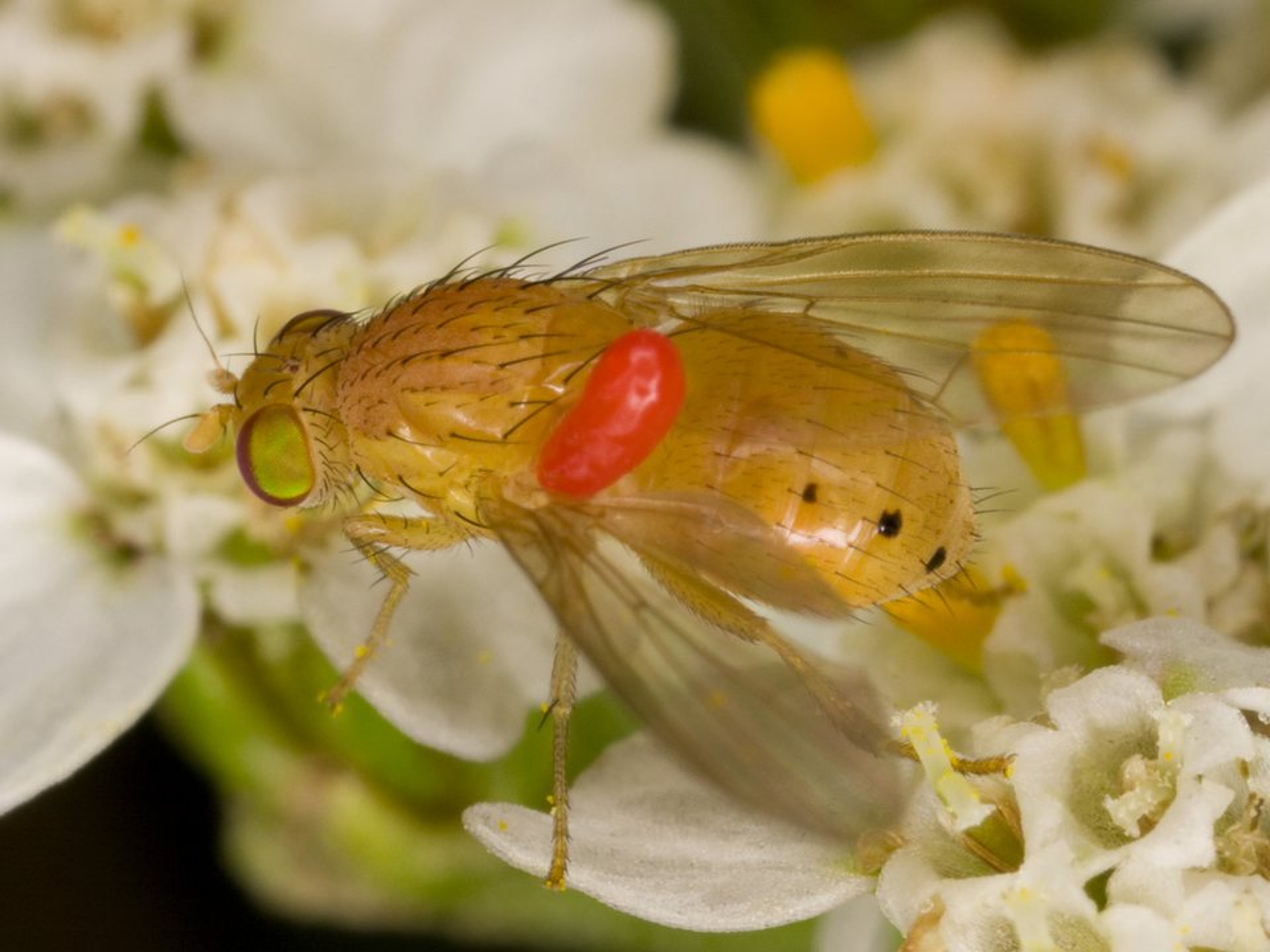 Diptera-3717.jpg