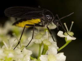 Sciaridae · daiginiai uodeliai