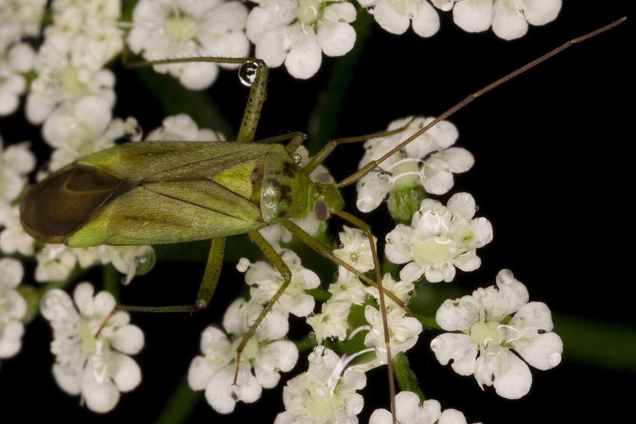 Adelphocoris-quadripunctatus-3729.jpg