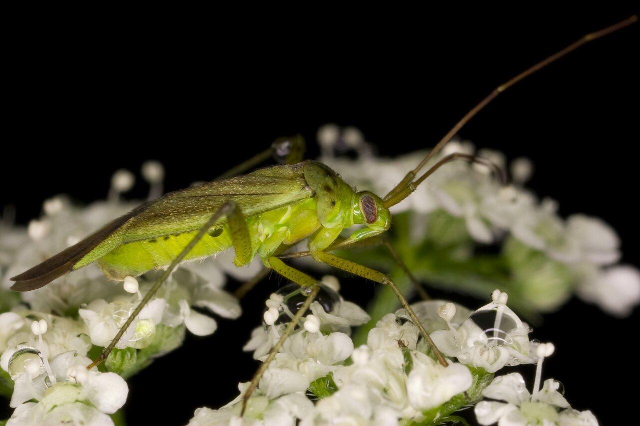 Adelphocoris-quadripunctatus-3730.jpg