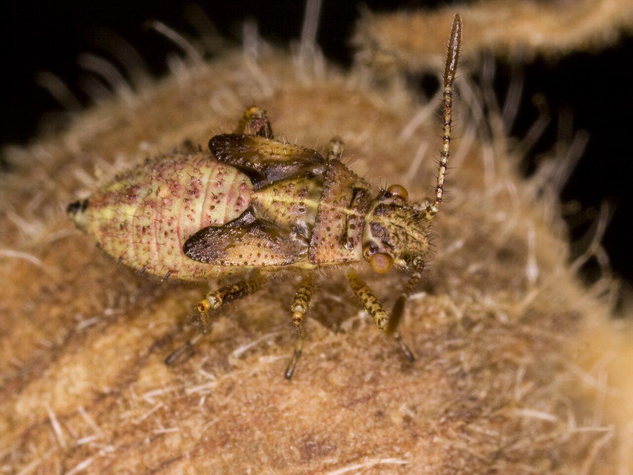 Rhopalidae-3732.jpg