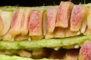 Oenothera biennis seeds · dvimetė nakviša, sėklos