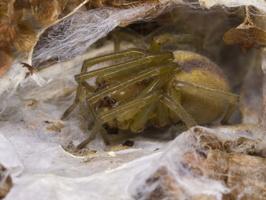 Cheiracanthium erraticum female · klajoklinis diegliavoris ♀