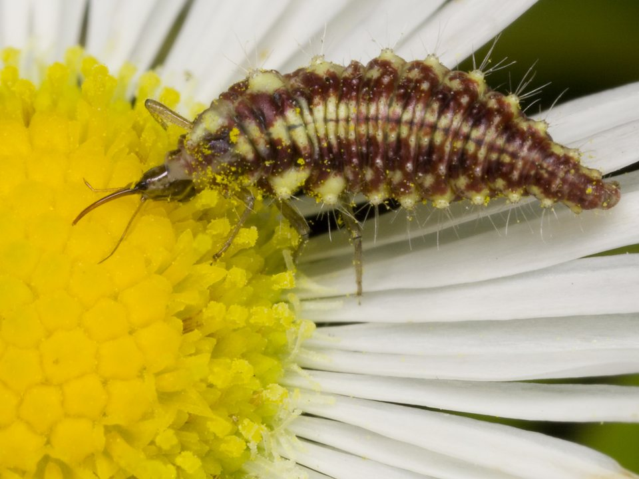 Chrysopidae-larva-3768.jpg