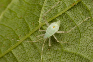 Phytocoris longipennis nymph · ilgablauzdė žolblakė, nimfa