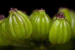 Aethusa cynapium fruits · nuodingoji šunpetrė, vaisiai