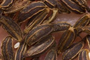 Aegopodium podagraria seeds · paprastoji garšva, sėklos