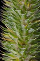 Phleum pratense · pašarinis motiejukas