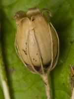 Silene vulgaris seed pod · paprastoji naktižiedė, sėklų dėžutė