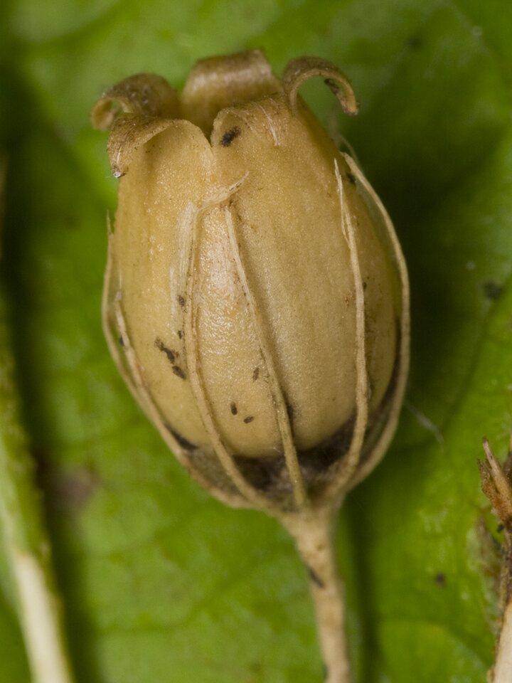 Caryophyllaceae-3796.jpg