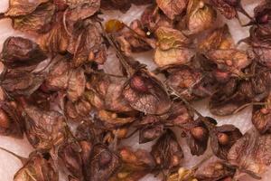 Rumex confertus seeds · tankiažiedė rūgštynė, sėklos