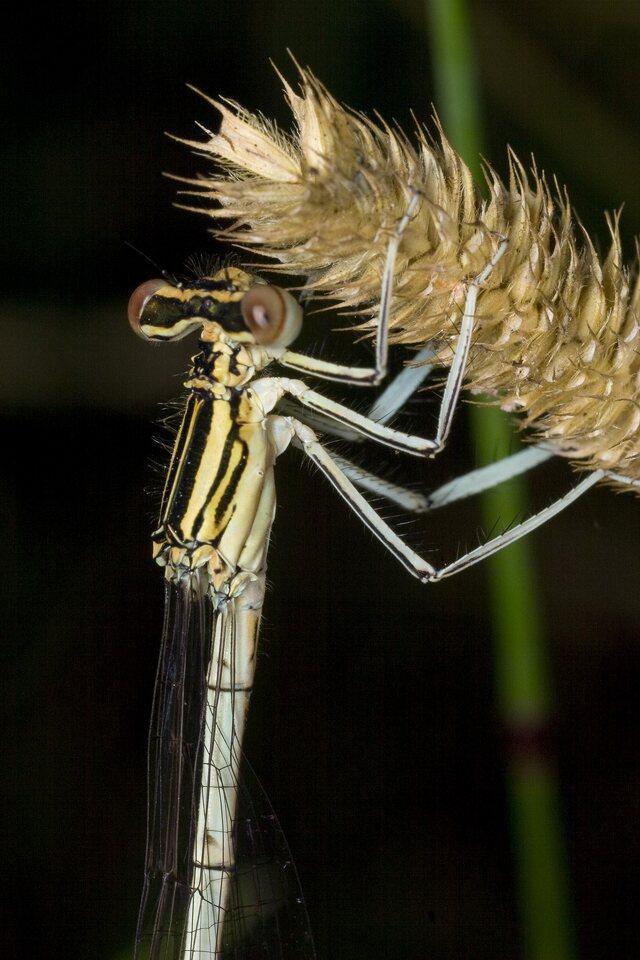 Platycnemis-pennipes-3800.jpg