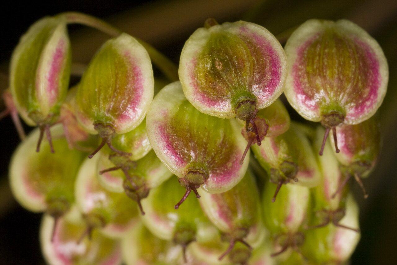 Apiaceae-3802.jpg