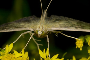 Geometridae · sprindis