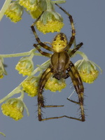 Araneus quadratus male · keturdėmis kryžiuotis ♂