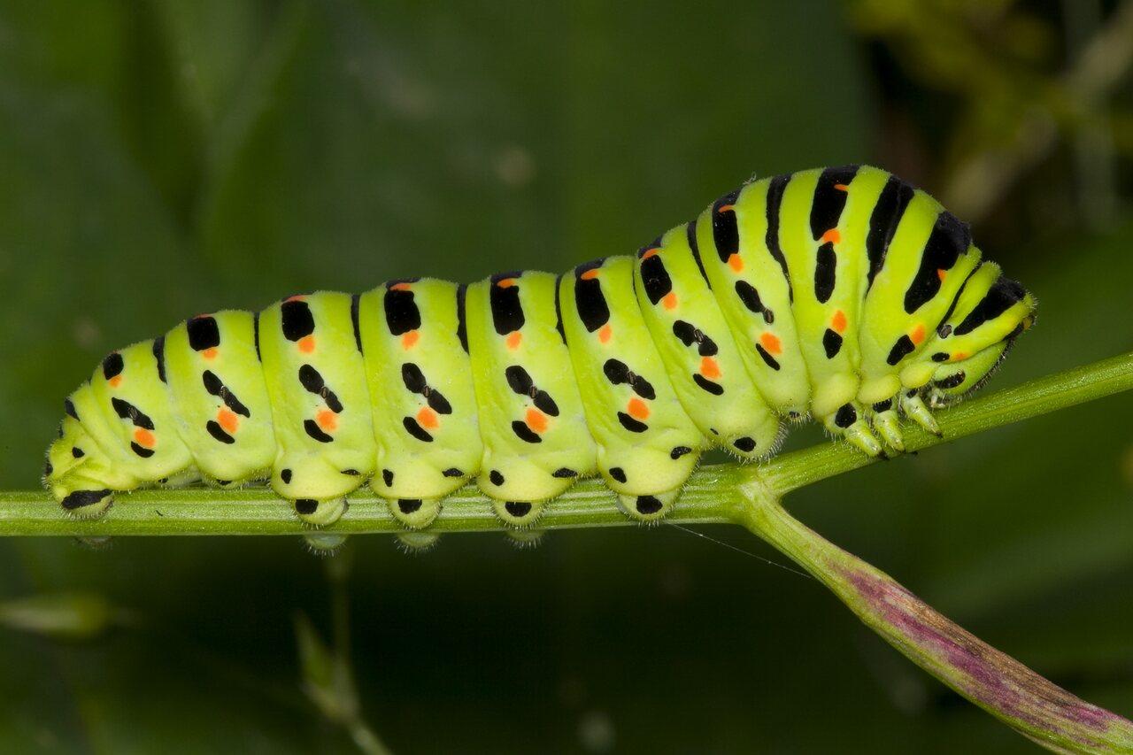 Papilio-machaon-3833.jpg