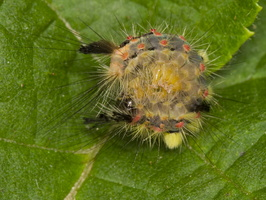 Orgyia antiqua caterpillar · sodinis šepetinukas, vikšras