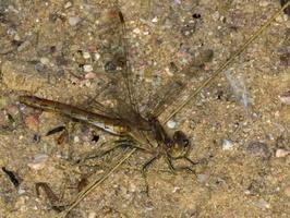 ~other Odonata