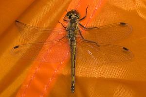Sympetrum danae, female · juosvoji skėtė ♀